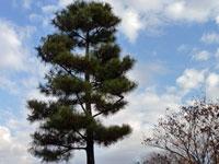 大きな松の木と空