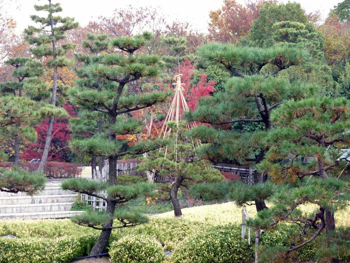 たくさんの松の木と紅葉植物の拡大写真