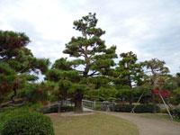 大きな松の木の植物と空の風景
