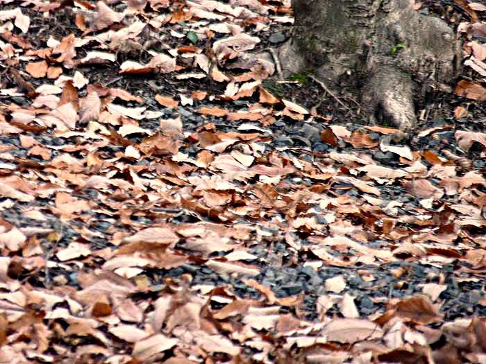 地面いっぱいの落ち葉(秋から冬)の拡大写真