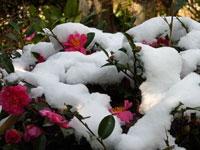 山茶花(サザンカ)に積もった雪
