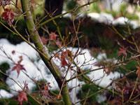 枯れた紅葉と雪