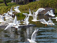 川の水面から一斉の飛び立つ水鳥(ゆりかもめ)の群れ