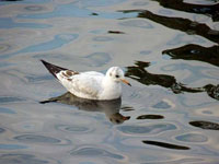泳ぐ水鳥ユリカモメ