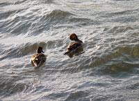仲良く2匹で荒れた海を前進する野鳥(アホウドリ)たち