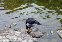 川に沈んだ石の隙間のエサを探すカラス
