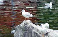 川の中の石の上に立つ水鳥ゆりかもめ