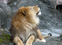 天空を見上げるライオン