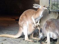エサを食べる2匹のカンガルー