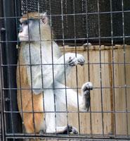 外の景色を見つめる猿(サル)