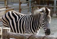 動物園のシマウマ