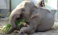 エサをおいしそうに食べるゾウ