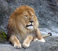 正面から見たライオン