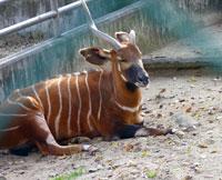 正面を向いた動物園のボンゴ