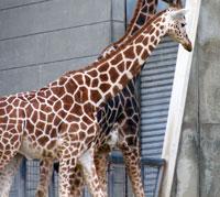 動物園のアミメキリン