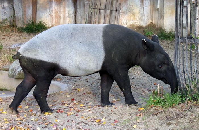 白と黒の動物バクの拡大写真