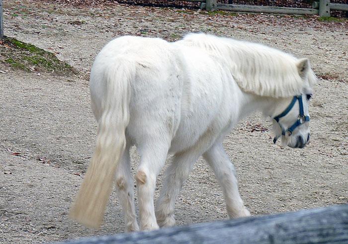 白い馬ポニーの後ろ姿の拡大写真
