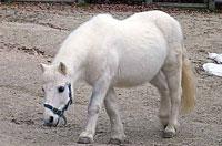 白い馬ポニー