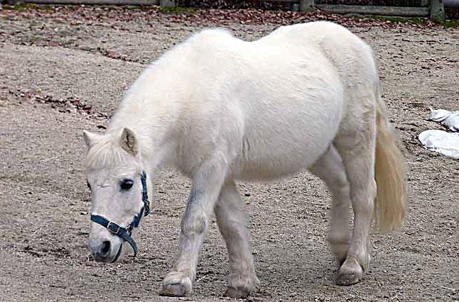 白い馬ポニーの拡大写真