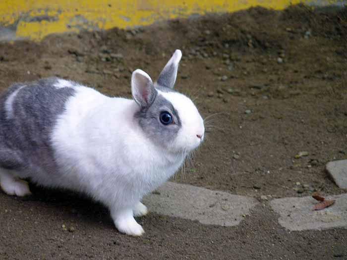かわいい白とグレーのウサギの拡大写真