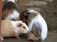かわいいベージュと白のウサギ