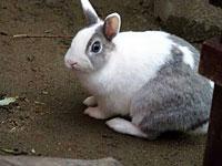 かわいい白とグレーのウサギ
