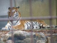 動物園の虎