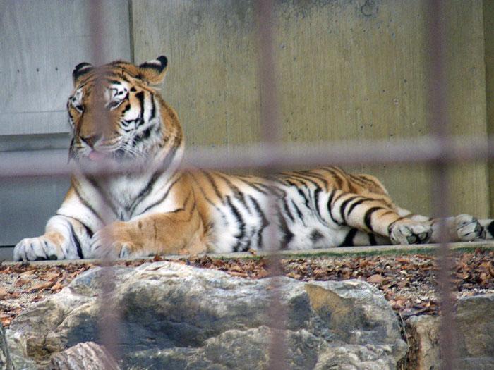 動物園の虎の拡大写真