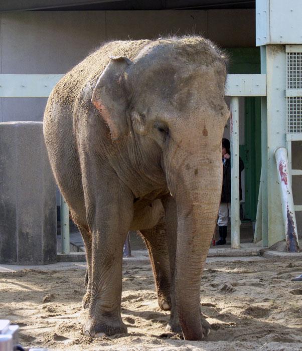 動物園の像(ゾウ)の拡大写真